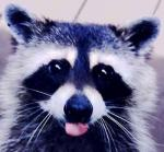 Do you think raccoons are responsible for your disappearing underpants?