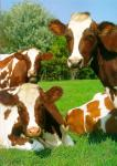 Do you believe that cows are actually aliens from another planet?