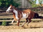 In which country did Appaloosa, Palomino, and Pinto horses originate and gain popularity?