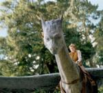 Who did Orik say got hurt when Saphira had fallen because she had gotten drunk and had tried to bow?