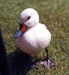 Do you find yourself repeatedly say 'quack'?