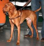 Where are Vizslas from?