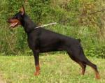 Where are Doberman from?