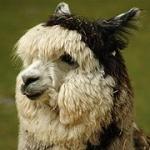 What sound does an alpaca make?