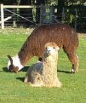 Other than saliva, what does alpaca spit contain?