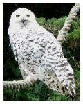 What is the name of Harry's owl, after whom the Harry Potter theme song has been named?