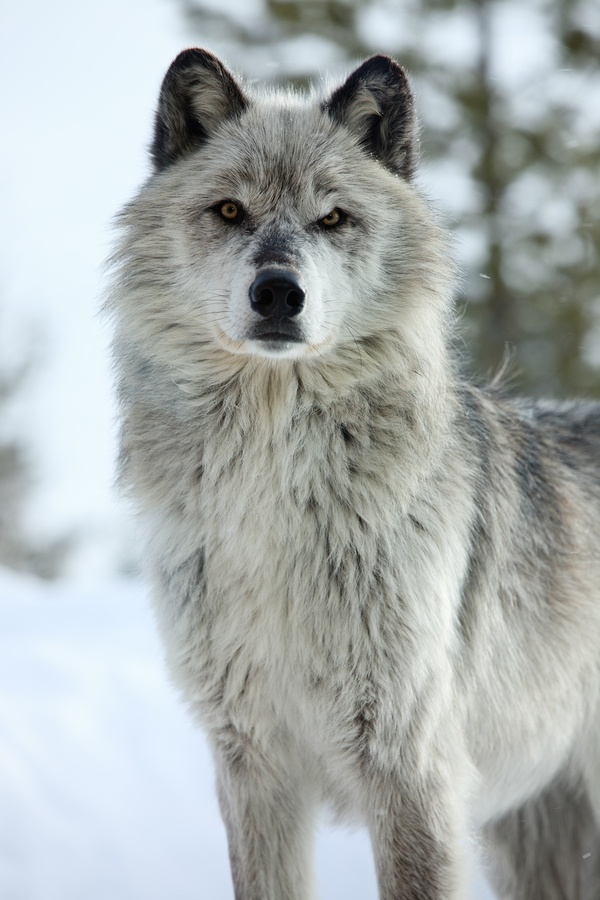 Wolf what is your real personality for Gorgeous in gray