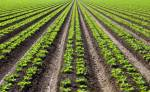 Which of the following would you consider the world's fourth-largest food crop?