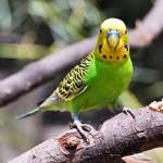 Many parrots enjoy being pet...