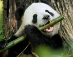 Do you like to eat bamboo?
