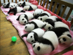 Do you know a lot about pandas? Did you know that there is a new kind that is mini?