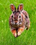 The badger left and was never seen again. Now, you are a six-moon-walk (moonwalk=month) old rabbit and officially an adult. What do you do now?