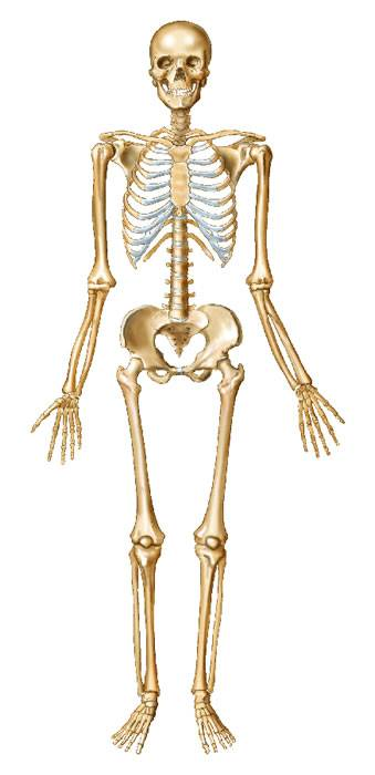 What do you know about human anatomy?