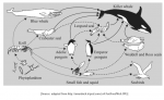 The following shows a diagram of a food web. Which members of this food web are tertiary consumers? (See picture for diagram.)