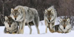 You are a Lone wolf and you come across a Pack. Will you...