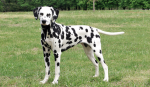 Dalmatians are born without spots