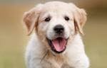 The most common cause of an enlarged prostate in dogs is cancer