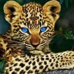 A leopard is not a cat.