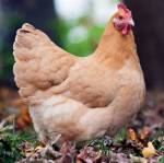 What Breed of Chicken is This?