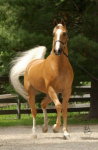Which of the following is NOT a horse breed?