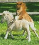 What is the worlds smallest horse?