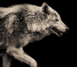 How long can a wolf live in captivity?