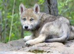 How long do wolf pups stay in the den (at first)? Sorry if this question is confusing