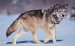What distance can wolves roam a day?