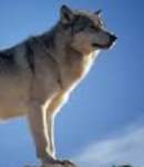 How tall are wolves (at the shoulder)?