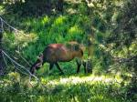 This is not a reindeer, not a deer, not a caribou; it's an elk. Really, it's just a bull elk with huge furry antlers.