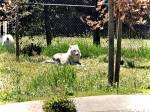 And yes, another wolf from Grizzly and Wolf Discovery Center in West Yellowstone.