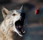 Wolf Facts Multiple Choice Quiz