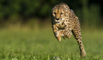 Now for some big cat questions. About how fast can a cheetah run?